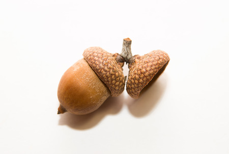 foetus: One  brown with acorn caps on over white