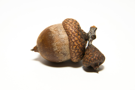 granule: One  brown acorn  with cap on over white Stock Photo