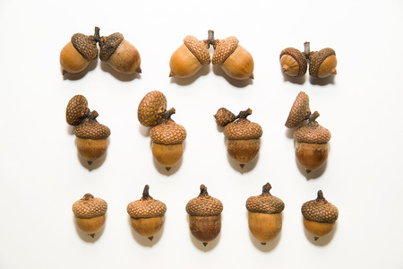 an inoculation: Many  brown acorns  with caps on over white