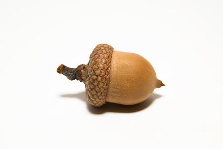 an inoculation: One  brown acorn  with cap on over white Stock Photo