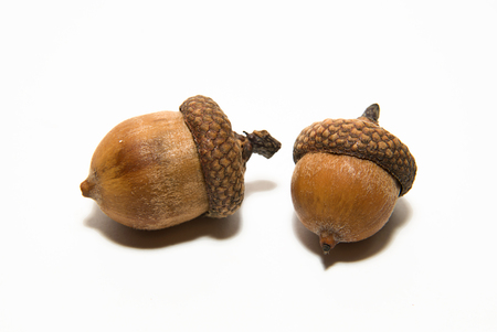 acorn: Two  brown acorns  with caps on over white