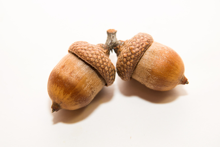 an inoculation: Two  brown acorns  with caps on over white