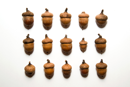 granule: Many  brown acorns  with caps on over white