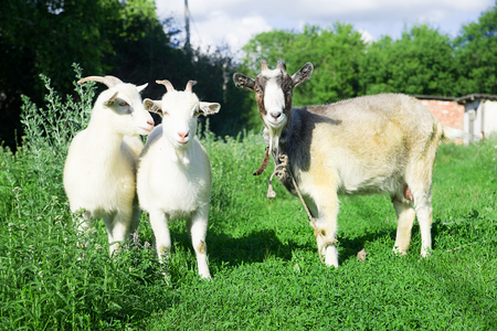 pastureland: Goat and two kid grazing on the green grass