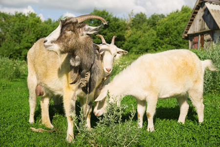 yeanling: Goat and two kid grazing on the green grass