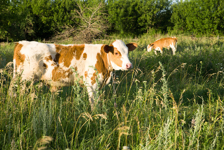 pastureland: Spotted Calf grazing on green grass Stock Photo