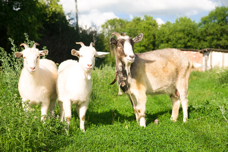 pastureland: Goat and two kids grazing on the green grass