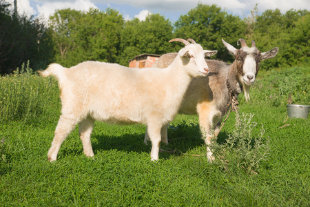 pastureland: Goat and kid grazing on the green grass