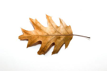 sapless: Dry autumn oak leaf on white Stock Photo