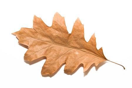 frondage: Dry autumn oak leaf on white Stock Photo