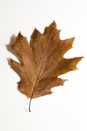 wizen: Dry autumn oak leaf on white Stock Photo