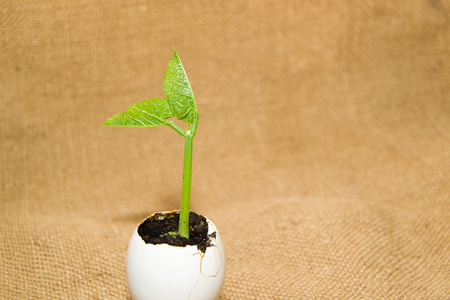 bourgeon: Plant grows from the soil, sprinkling in the egg on old cloth Stock Photo