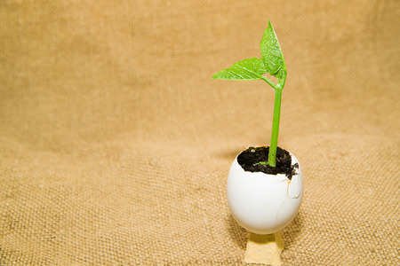 chit: Plant grows from the soil, sprinkling in the egg on old cloth Stock Photo