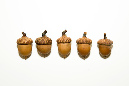 granule: Five brown acorns  with cap on over white