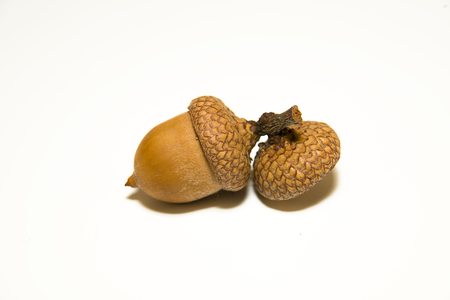 curfew: One  brown acorn  with cap on over white Stock Photo