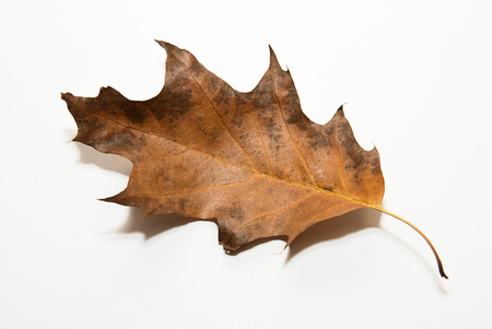 wizen: Dry autumn oak leaf on  a white