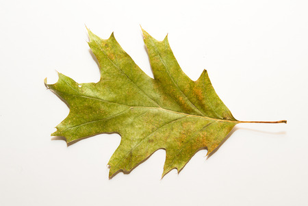 wizened: Dry autumn oak leaf on  a white