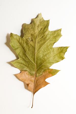 frondage: Dry autumn oak leaf on  a white