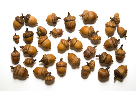 curfew: Many brown acorns  with cap on over white