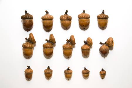 an inoculation: Many brown acorns  with cap on over white