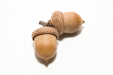 curfew: Two  brown acorns  with caps on over white
