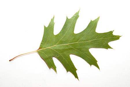wizened: Dry autumn oak leaf on  a over white