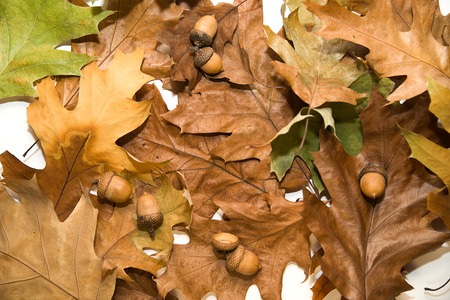 wizened: Dry autumn oak leafs and acorns on  a over white Stock Photo