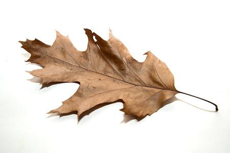 건조 가을 떡갈 나무 위에 흰색
