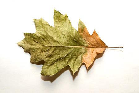 wizen: Dry autumn oak leaf on  a over white