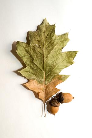 hojas secas: hoja de roble de otoño secas en un sobre blanco