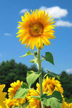 palate: Yellow sunflowers in bloom against the blue sky