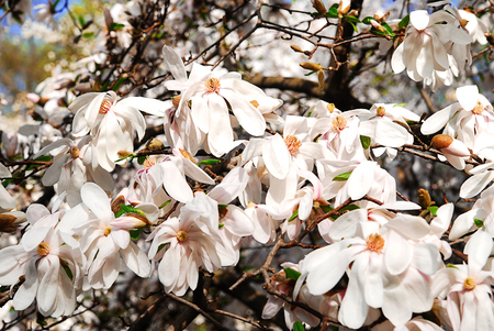 florescence: Many white magnolia flowers bloom in spring on a sunny day Stock Photo