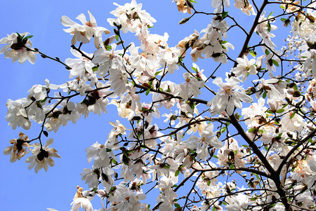 springtide: Many white magnolia flowers bloom in spring on a sunny day Stock Photo