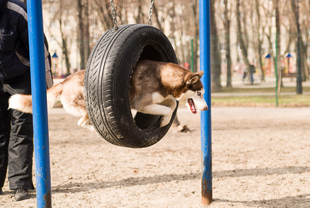 brute: Husky Dog jumps over a hurdle at the training ground on a sunny day