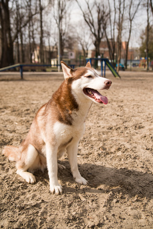 gentleness: Husky Dog sitting on the territory of the site for dog training