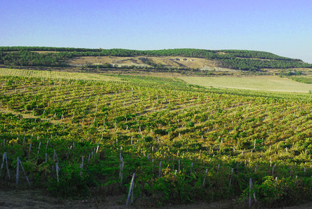 relievo: Big grapes growing on a hillside on a sunny day.