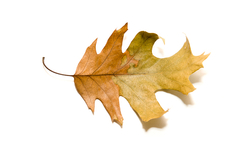 leafage: Dry autumn oak leaf on  a over white