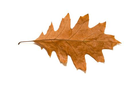 frondage: Dry autumn oak leaf on  a over white