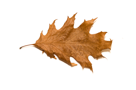 wizen: Dry autumn oak leaf on  a over white