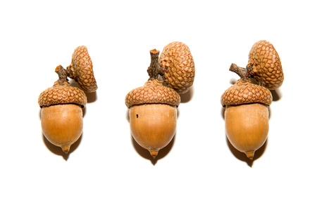 curfew: Three  brown acorns  with caps on over white Stock Photo