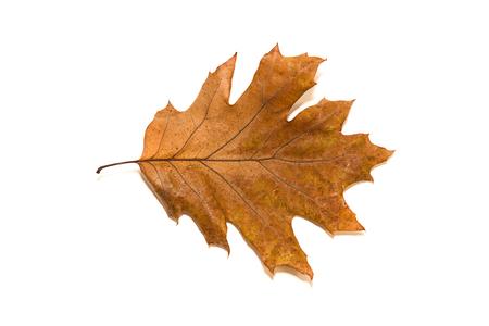 frondage: Dry autumn oak leaf on   white