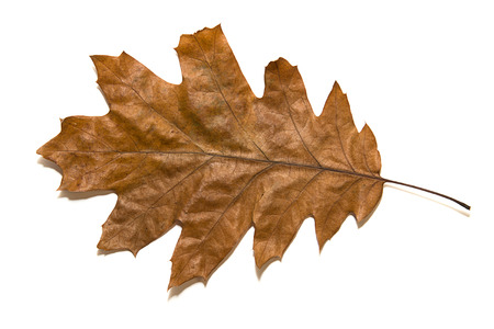 wizened: Dry autumn oak leaf on   white