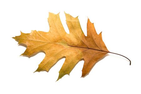 wizen: Dry autumn oak leaf on   white