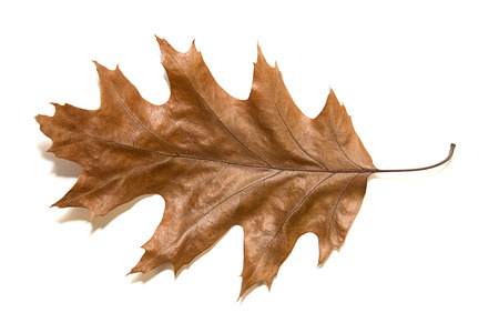 sapless: Dry autumn oak leaf on   white