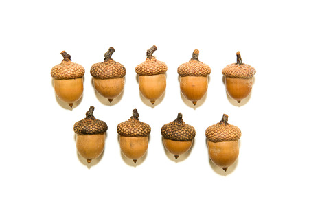 inoculation: Many  brown acorns  with caps on over white