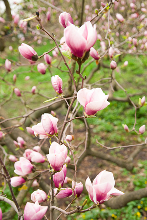 glaring: Magnolia blossoms in spring on a sunny day Stock Photo