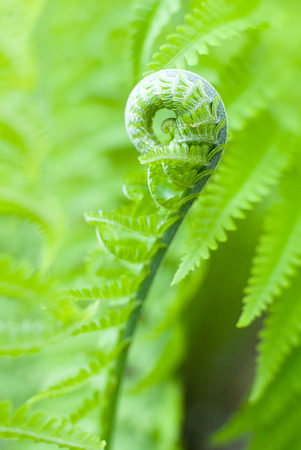 frondage: Green fern leaves in spring on a sunny day