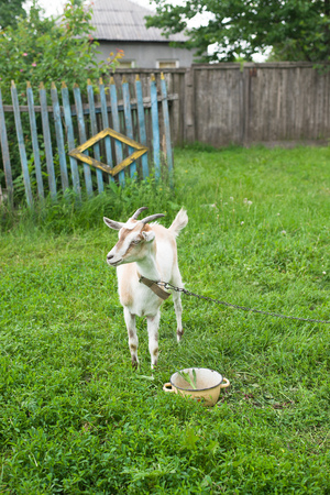 pastureland: Goat on the green grass in the pasture