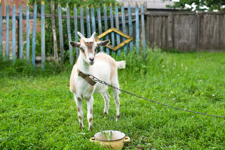 pelage: Goat on the green grass in the pasture