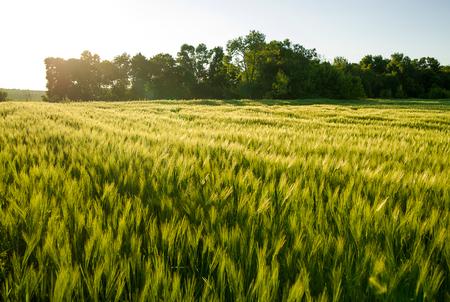 farm field: Ears of wheat growing on a farm field Stock Photo